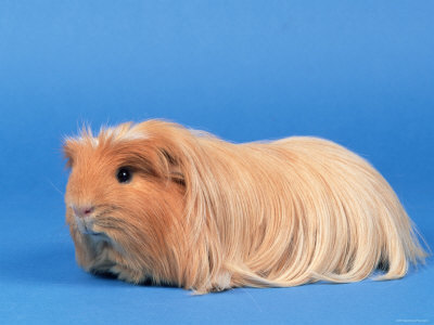 curly long haired guinea pig. The coronet guinea pig has a crest on the top of their head and the hair